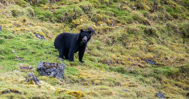 Imágenes del oso de anteojos, Oso de Anteojos, Oso Frontino, Oso Sudamericano, Ucumari, Jukumari