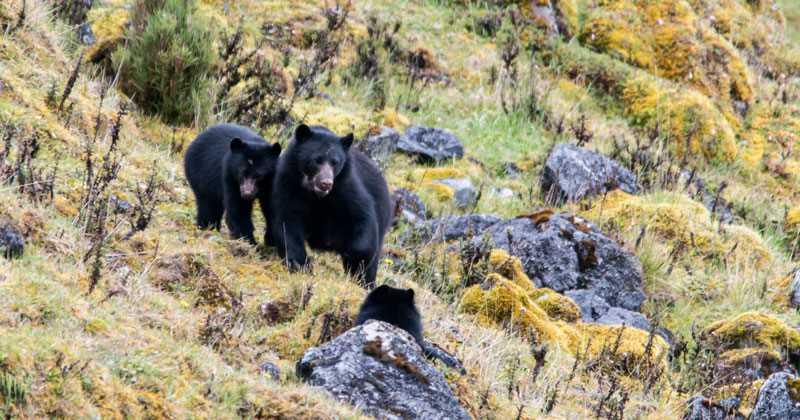 Imágenes del oso de anteojos